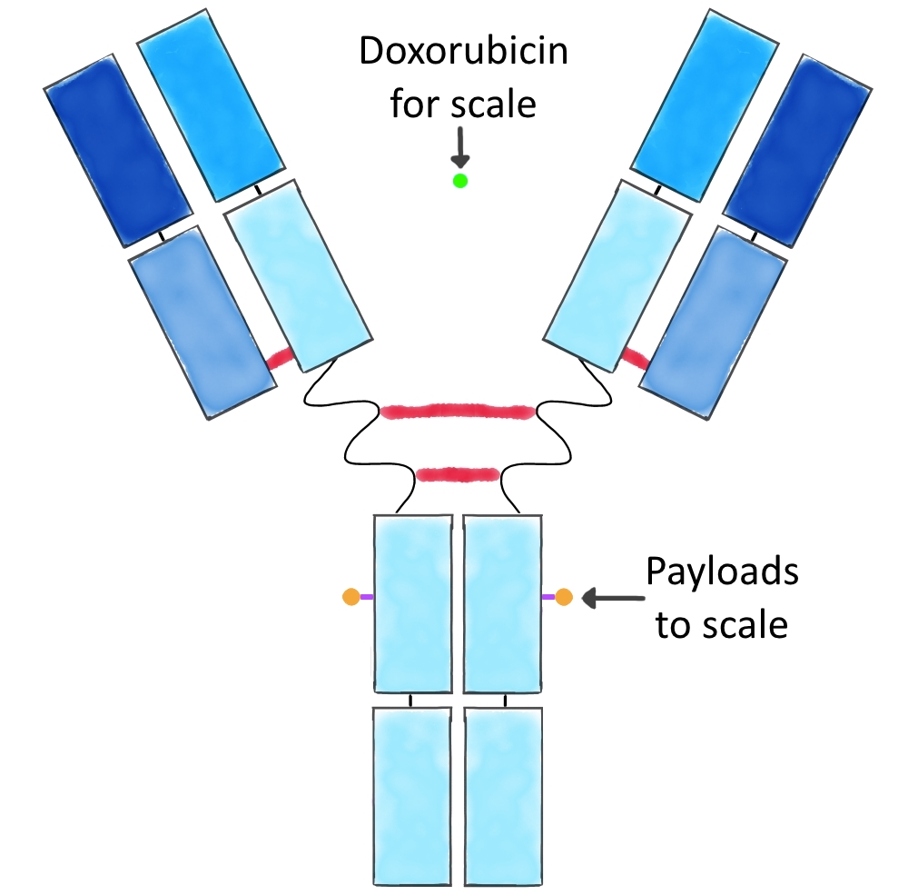 Diagram of an ADC with payloads and doxorubicin scaled to approximate size based on mAb