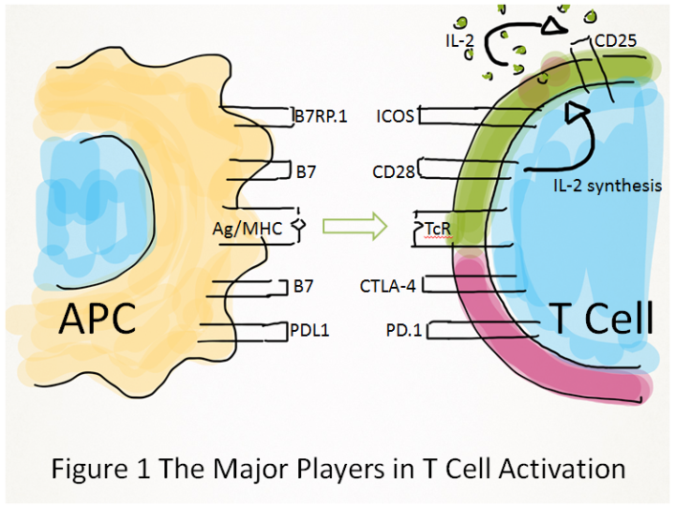 Diagram showing the major players in T cell activation